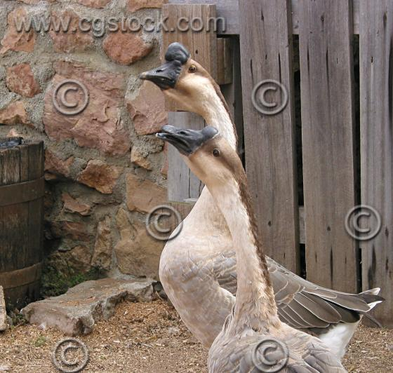Goose - Brown African picture
