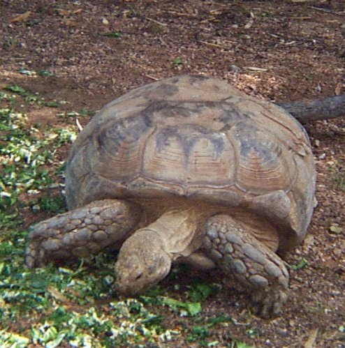 African Spurred Tortoise picture