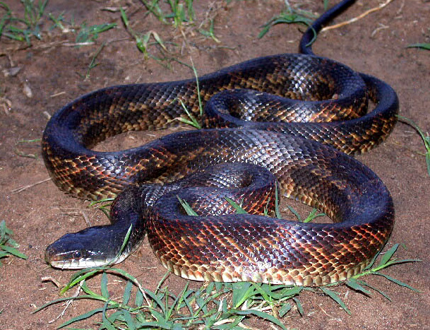 Rat Snake - Black picture
