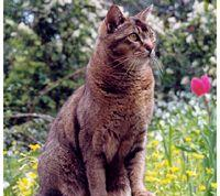 Wild Abyssinian  picture