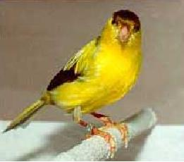 Canary - German Roller picture