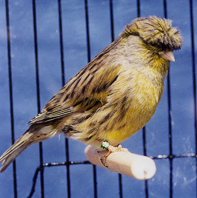 Canary - Roler picture