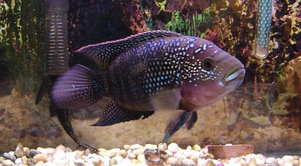 Freshwater aquarium fish jack dempsey 2017 fish tank for Jack dempsy fish