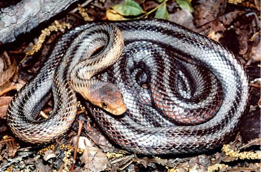 Rat Snake - Baird