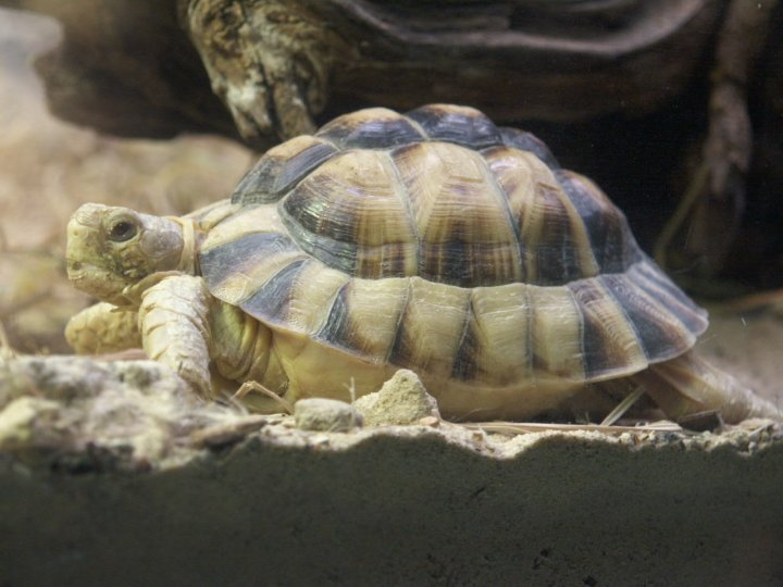 Egyptian Tortoise picture
