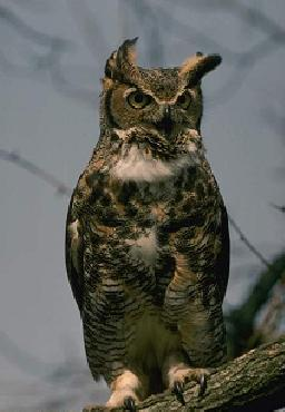 Owl - Great horned picture