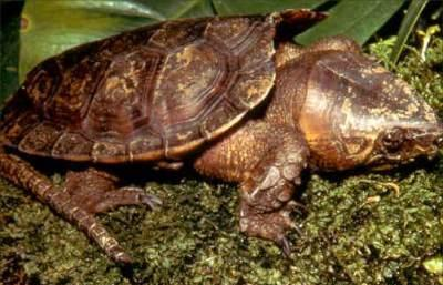 Big Headed Turtle picture