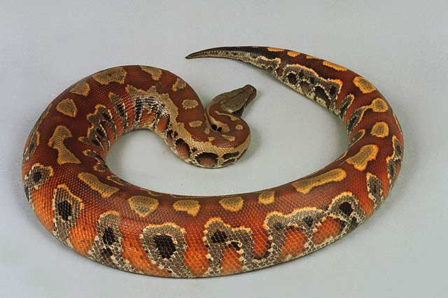 Python - Sumatra Blood picture
