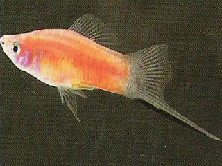 Swordtail - Pineapple picture