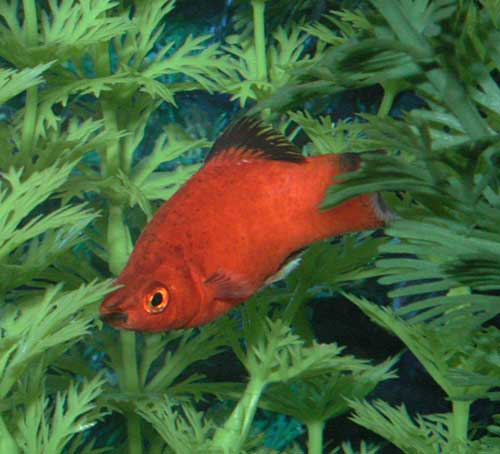 Swordtail - Red wag picture