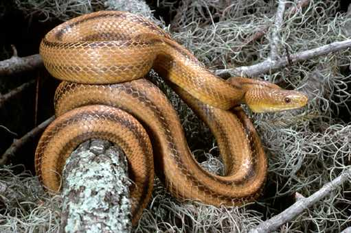 Rat Snake - Yellow picture