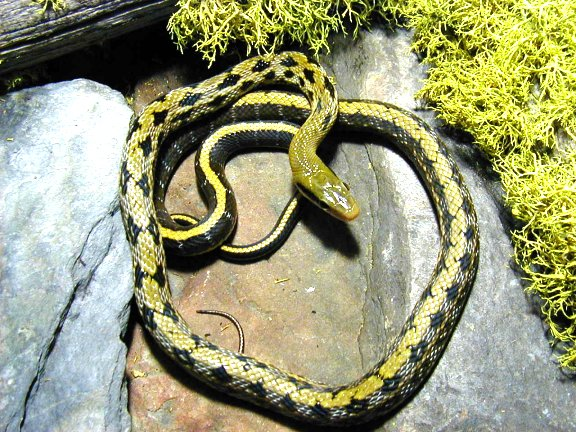Rat Snake - Taiwan Beauty picture