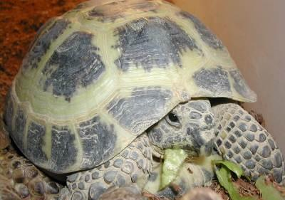 Russian Tortoise  picture