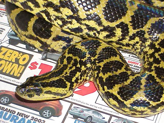 Anaconda - Yellow picture
