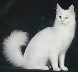 Angora (British Angora) renamed Oriental Longhair in 2002 picture