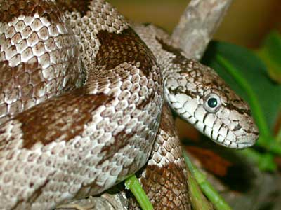 Rat Snake - Grey picture