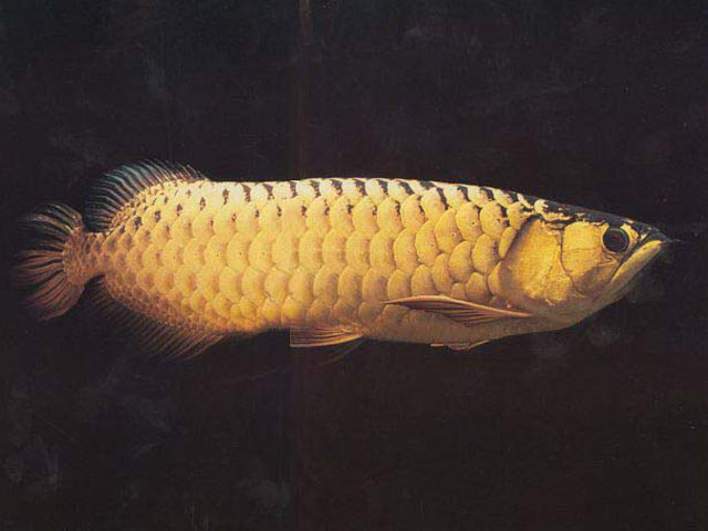 Asian arowana picture