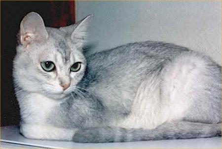 Asian Semi-longhair (or Tiffanie) picture