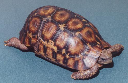 Hingeback Tortoise - Bell