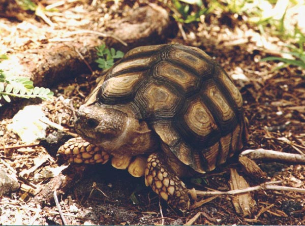 Chaco Tortoise  picture