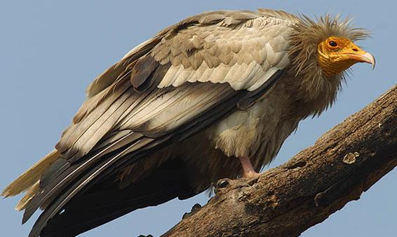 Vulture - egyptian picture