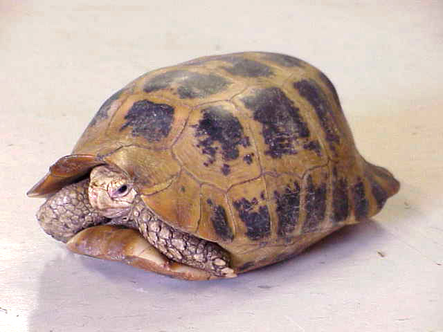 Elongated Tortoise picture
