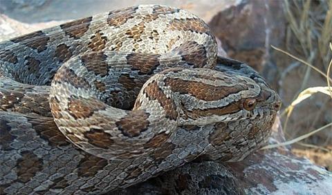 Rat Snake - Emory