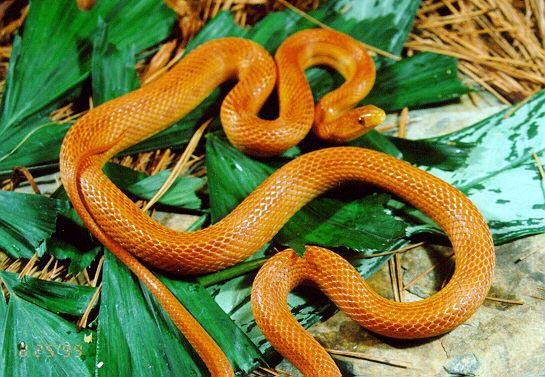 Rat Snake - Everglades picture