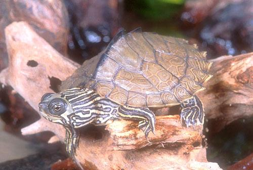 Map Turtle  picture