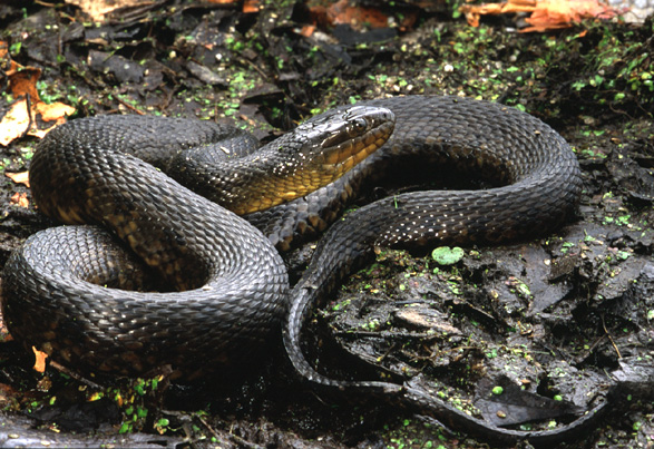 Pet Water Snake Water Snake Mississippi