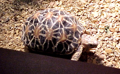 Star Tortoise  picture