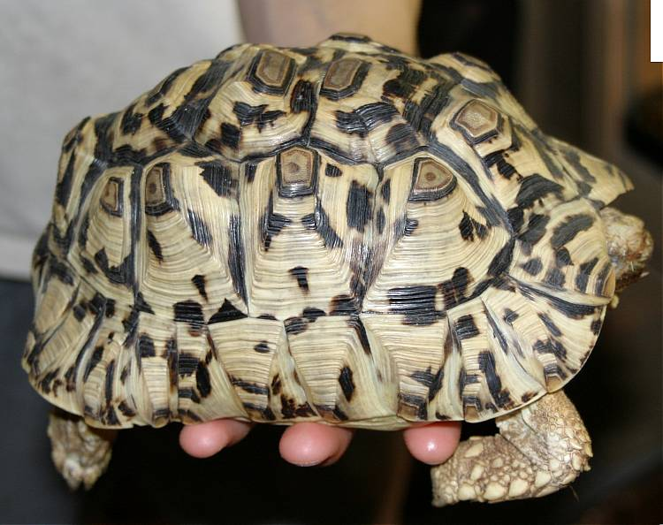 Leopard Tortoise   picture