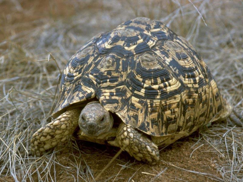 Leopard Tortoise - South African picture