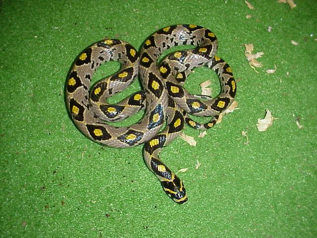 Rat Snake - Mandarin picture