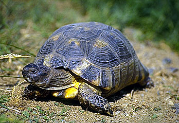 Marginated Tortoise picture