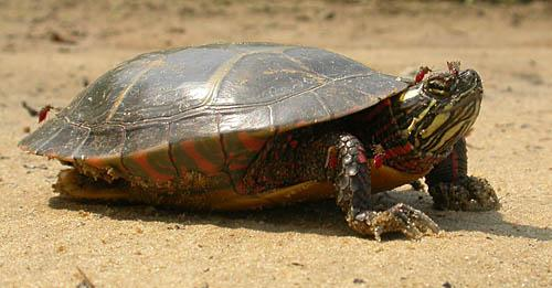 Painted Turtle - Eastern  picture