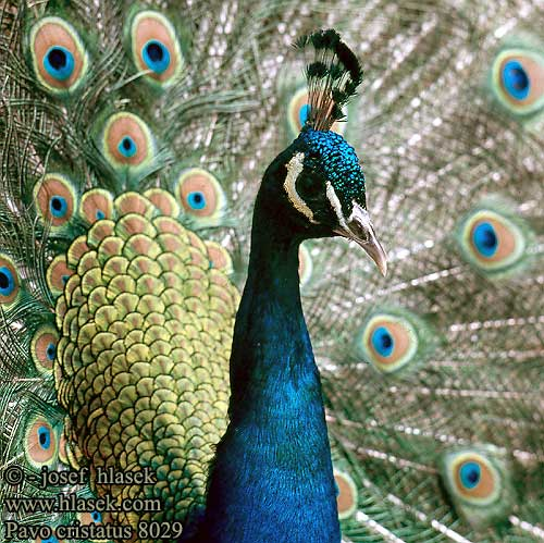 Peafowl - India Blue picture