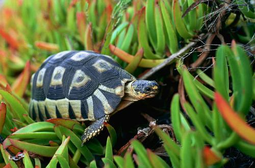 Bow-Sprit Tortoise  picture