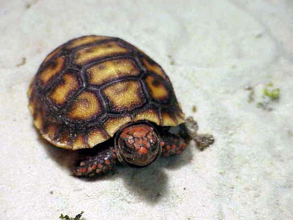 Red Foot Tortoise  picture