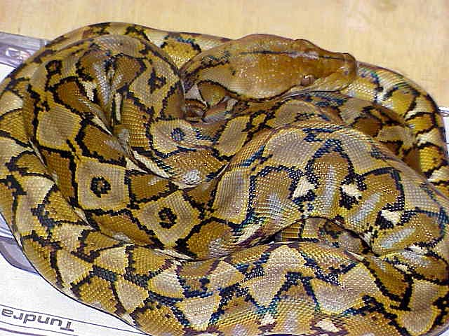 Python -Reticulated picture