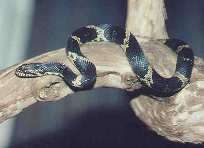 Rat Snake - Russian picture