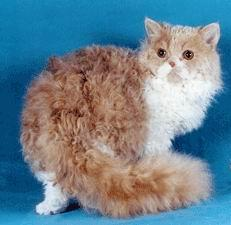 Selkirk Rex picture