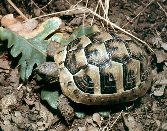 Greek Spur Thighed Tortoise picture