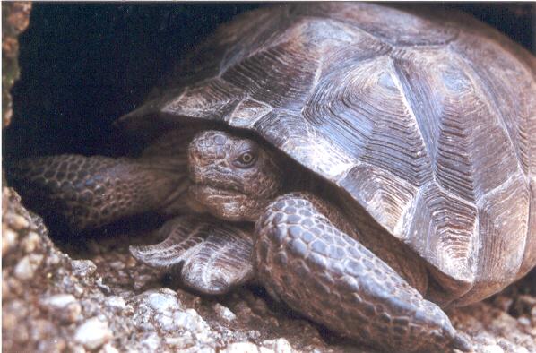 Desert Tortoise  picture