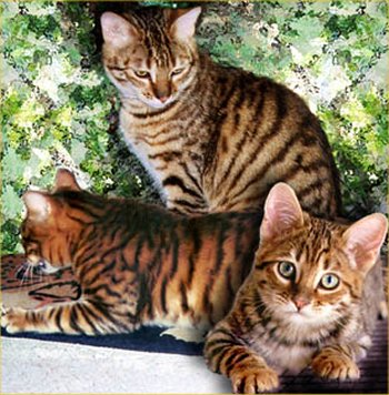 Toyger picture