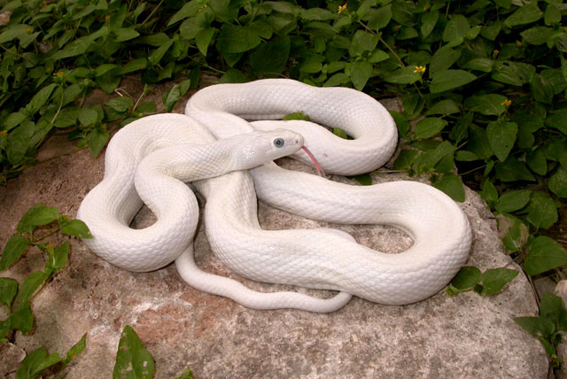 Rat Snake - Texas picture