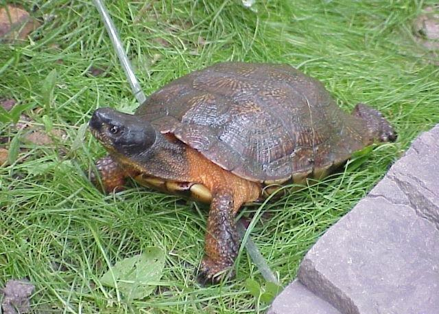 Wood Turtle - North American  picture