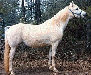 Welara Pony picture
