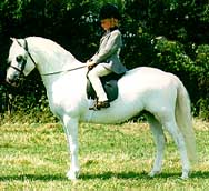 Welsh mountain pony (Section A) picture