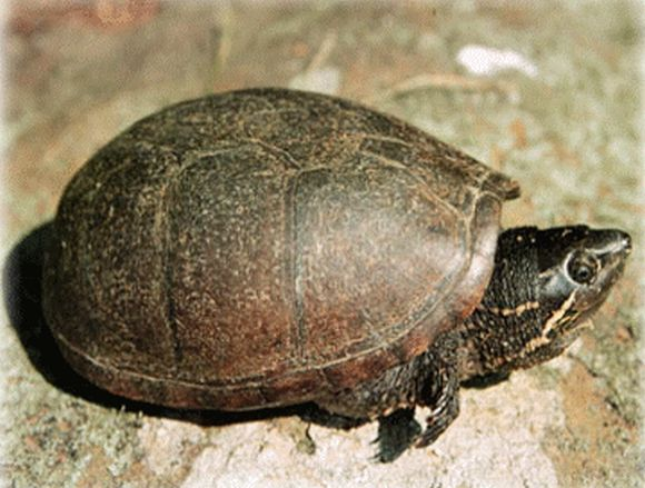 Musk Turtle  picture